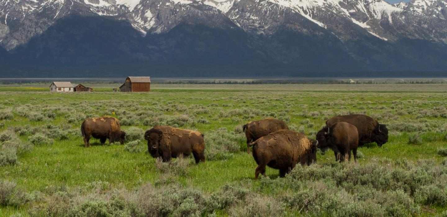 Bison's roaming in grassland in wyoming