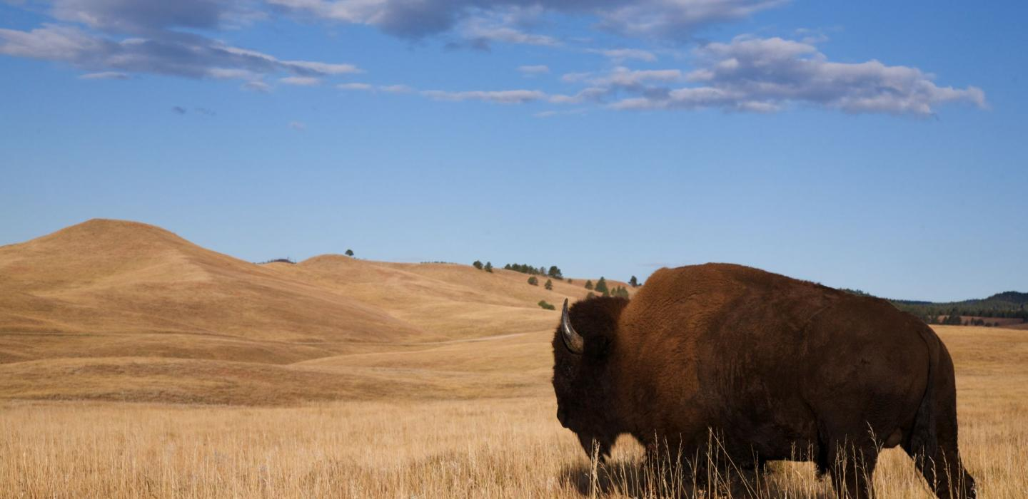 A bison on the plains of North Dakota.